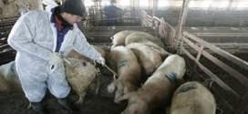 علماء يكتشفون طريقة لمكافحة طاعون الخنازير