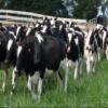 انتبه !! ... حليب الأبقار ومشتقاته يقاوم عمل المضادات الحيوية