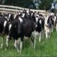 انتبه !! … حليب الأبقار ومشتقاته يقاوم عمل المضادات الحيوية