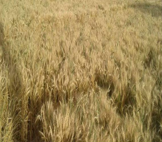 Photo of توريد 4594 طن و 171 كيلو قمح من المزارعين لشون وصوامع سوهاج