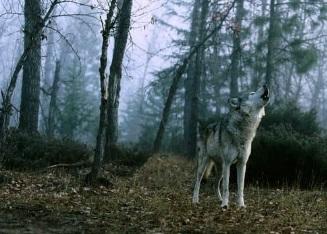 ذئب، موقع أوراق عربية - قصة قصيرة